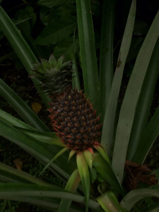 Fiji - The Pineapple